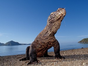Photo Dragon de Komodo
